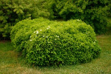 Dvärgschersmin, Philiadelphus coronarius var. pumilus, blomning