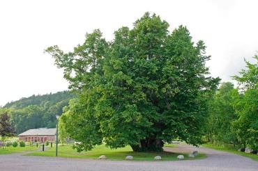 Lind, som vuxit upp från en klunga separata plantor eller stubbskott.