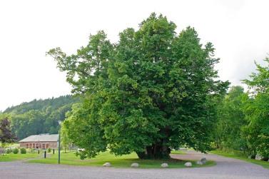 Lind som vuxit upp från en klunga separata plantor eller stubbskott.