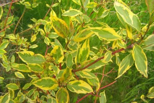 Cornus alba 'Gouchaultii' blad