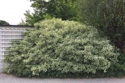 Cornus alba 'Elegantissima' sommar