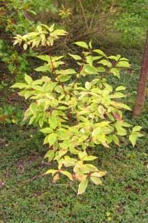 Cornus alba 'Gouchaultii', ungplanta