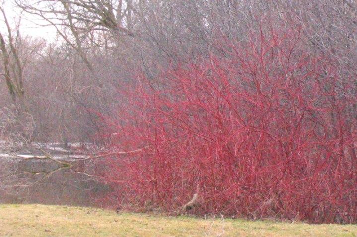 Cornus alba 'Sibirica' vinter