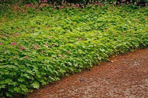 Flocknäva passar för massplanteringar