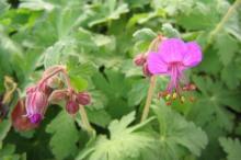 Blommor av flocknäva