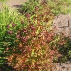 Treblandsspirea, Gillenia trifoliata, höst