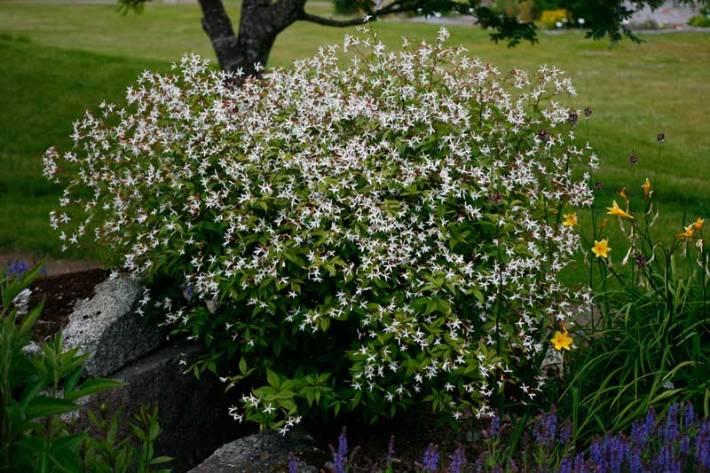 Gillenia trifoliata, trebladsspirea