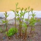 Treblandsspirea, Gillenia trifoliata, vår