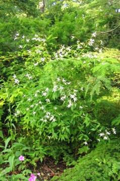 Treblandsspirea passar bra i woodland