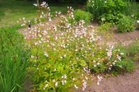Treblandsspirea, Gillenia trifoliata