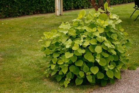 Vidjehortensia, Hydrangea arborescens 'Annabelle', försommar