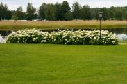 Vidjehortensia, Hydrangea arborescens 'Annabelle', som häck