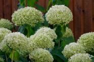Vidjehortensia, Hydrangea arborescens 'Annabelle', tidig höst