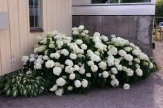 Vidjehortensia, Hydrangea arborescens 'Annabelle', sommar