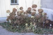 Vidjehortensia, Hydrangea arborescens 'Annabelle', vinter