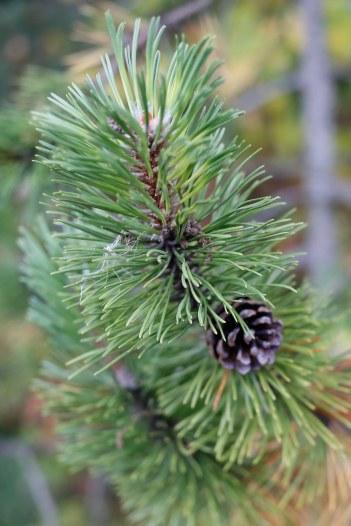 Bergtall, Pinus mugo 'Marand' har gula strimmor på barren
