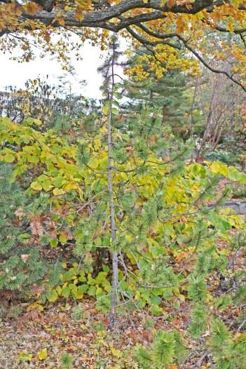 Bergtall, Pinus mugo 'Marand' har ett upprätt växtsätt