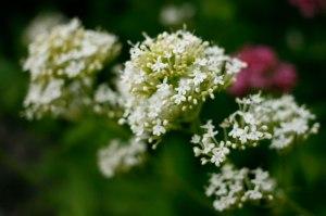 Centranthus ruber 'Albus', vit pipört