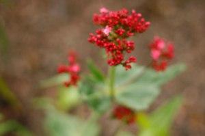 Centranthus ruber 'Coccineus', pipört
