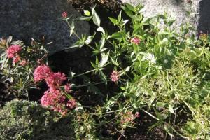 Centranthus ruber 'Rosy Red', vit pipört