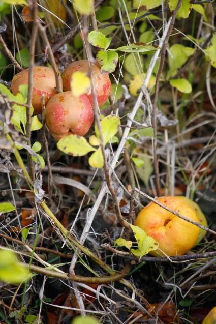 Äpplen från liten rosenkvitten, Chaenomeles japonica 'Cido'
