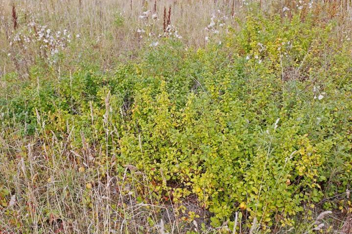 Liten rosenkvitten, Chaenomeles japonica 'Cido'