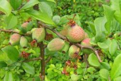 Frukt från hybridrosenkvitten, Chaenomeles x superba 'Crimson and Gold'