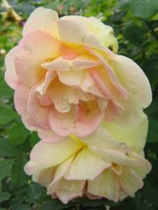 Frühlingsduft-blomma