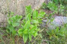 Vanlig kärleksört, Hylotelephium telephium ssp. maximum, vildväxande försommar