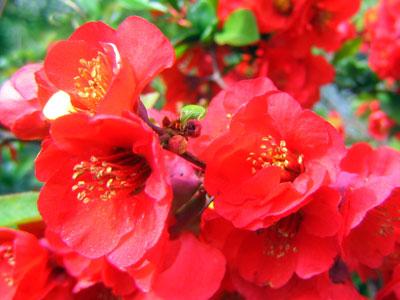 Hybridrosenkvitten Chaenomeles 'Crimson and Gold'