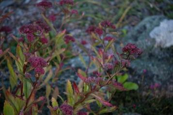Hylotelephium telephium ssp telephium