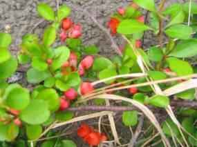 Liten rosenkvitten, Chaenomeles japonica 'Cido', i knopp