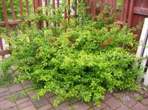 Liten rosenkvitten, Chaenomeles japonica 'Cido', sommar