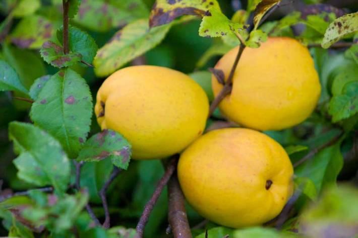 Liten-rosenkvitten-frukt