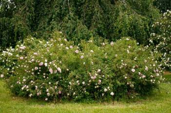 Pimpinellros, Rosa spinosissimagruppen 'Mary Queen of Scots'