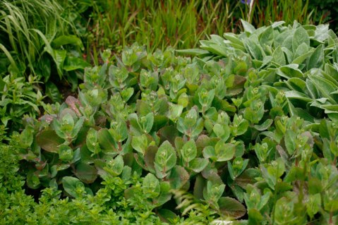 Röd kärleksört, Hylotelephium telephium ssp. telephium 'Matrona'