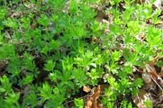 Myskmadra, Galium odoratum, vår