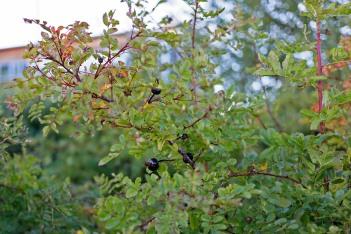 Orientalisk pimpinellros, Rosa spinosissima var. altaica, nypon