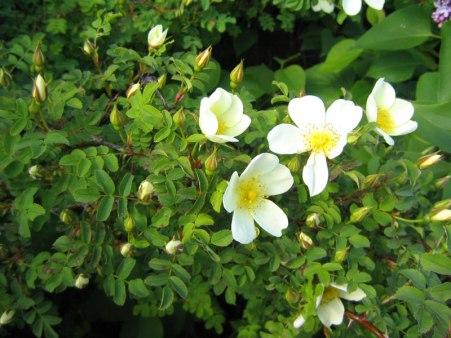 Pimpinellros, Rosa spinosissima var. spinosissima