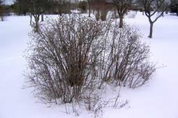 Pimpinellros vinter