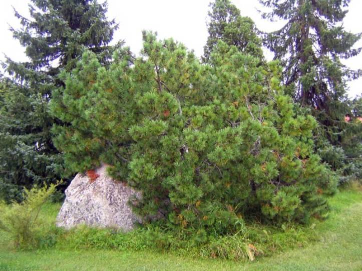 Pinus-mugo-var-mughus
