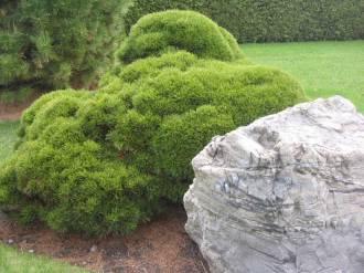 Balkanbergtall, Pinus mugo var. pumilio, som har pincerats.