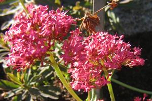 Centranthus ruber 'Rosy Red', pipört