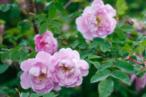 Pimpinellros, Rosa spinosissimagruppen 'Poppius'