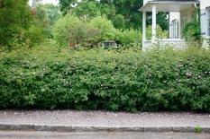 Pimpinellros, Rosa spinosissimagruppen 'Poppius', som häck
