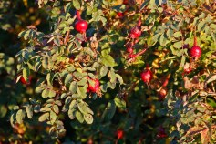 Nypon på pimpinellros, Rosa spinosissimagruppen 'Poppius'