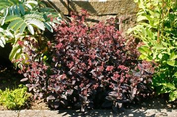 Rödbladig kärleksört, Hylotelephium atropurpureumgruppen 'Postmans Pride'