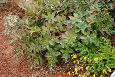 Kärleksört, Hyleotelephium atropurpureumgruppen 'Purple Emperor'