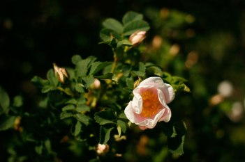 Pimpinellros, Rosa spinosissimagruppen 'Single Blush'