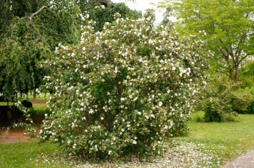 Pimpinellros, Rosa spinosissimagruppen 'Single Blush'